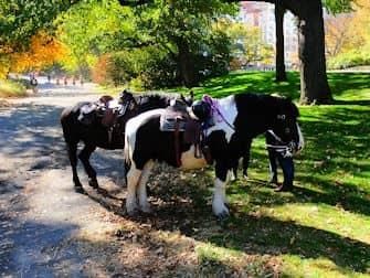 Horseback riding in Central Park - horses